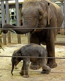 Photo of a young male elephant calf born at Sydney's Taronga Zoo last year   (AFP/File/Greg Wood)
