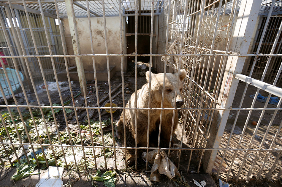 Mosul zoo lion and bear flown out of Iraq
