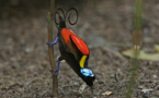 'Extinct' Myanmar bird rediscovered after 73 years