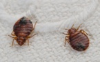 Genes show why bedbugs are tough suckers to kill