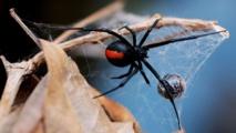 Spider bites Australian man on penis again