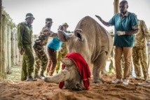 Rhino egg harvesting gives conservationists hope