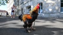 Rooster killed Australian woman collecting eggs, pathologist finds