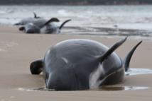 Rescuers confirm 380 whales dead in Australia's worst stranding