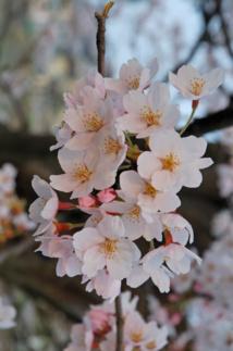 Source of image, accessed via Wikipedia: 2007_Sakura_of_Fukushima-e_007.jpg: Kropsoq