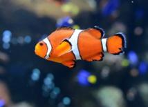 As babies, 'Nemo' clownfish embark on epic journeys