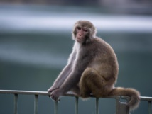 Chinese scientists create 'autistic' monkeys