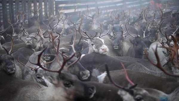 A reindeer's perilous journey in Swedish Lapland