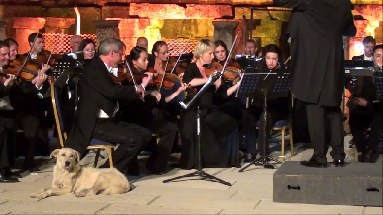 Turkish dog steals hearts at classical concert