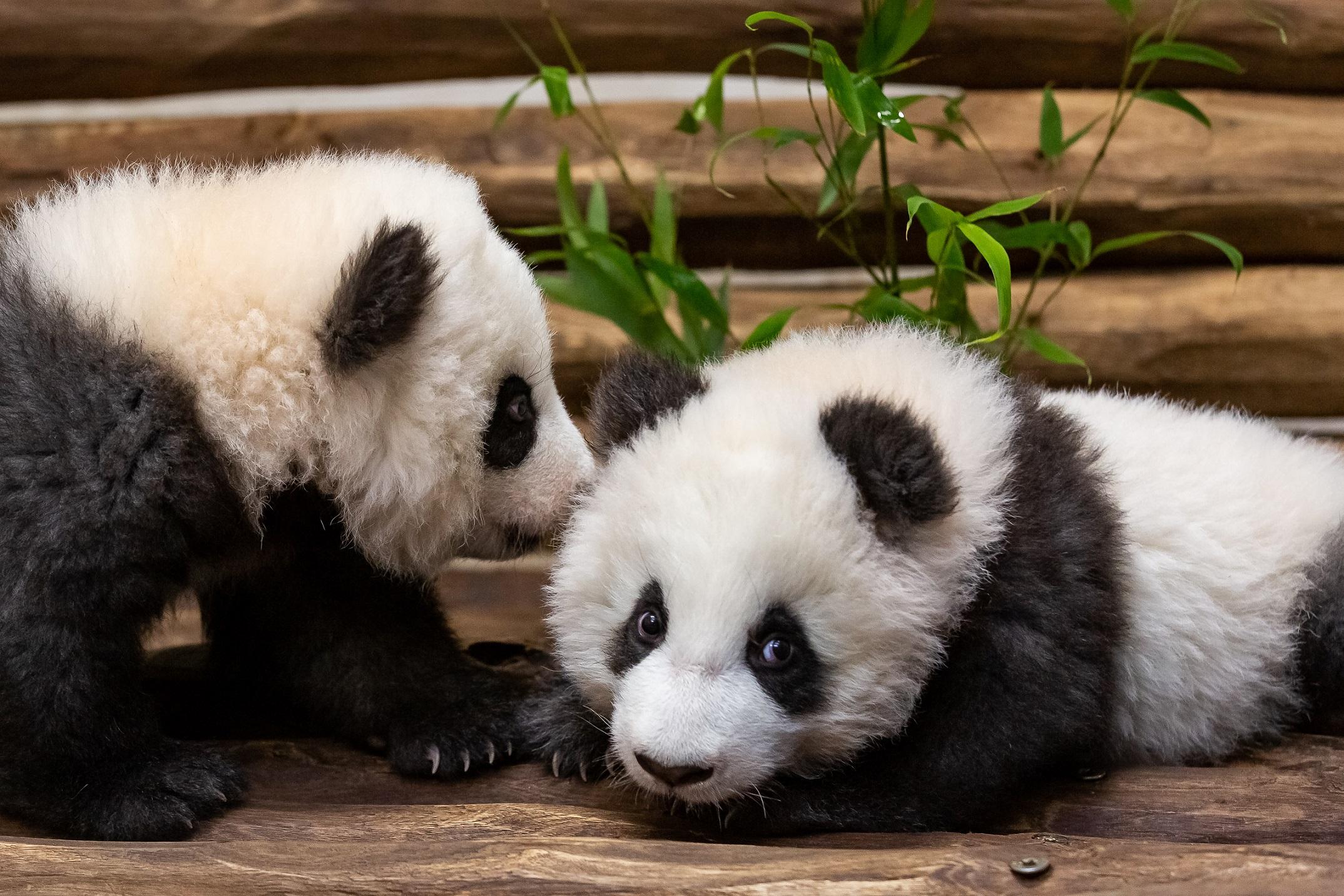 Berlin's panda cubs meet the press ahead of public debut