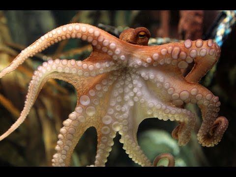 Octopus inspires new camouflage material