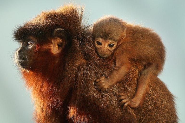It's a titi! New monkey species found in Peru