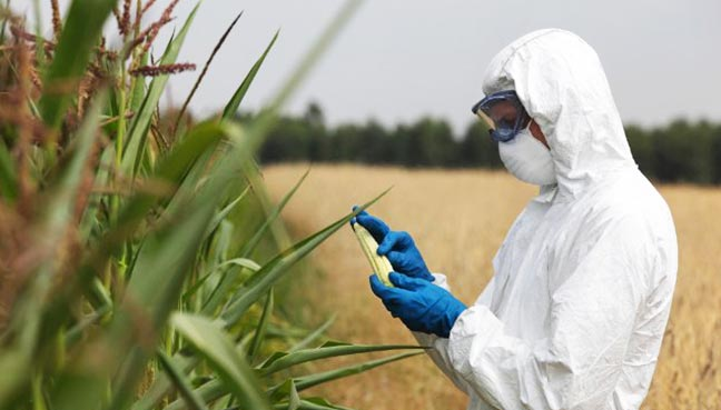 No evidence that genetically modified crops unsafe to eat
