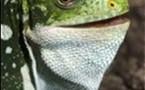 Hello hello: New iguana species found in Fiji