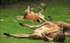 Put kangaroos, camels on Australian eco-menu: scientists