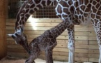 April the giraffe gives birth to calf in New York zoo