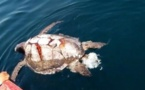 Hundreds of turtles die of microalgae poisoning off El Salvador