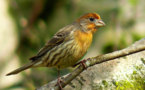 Mother knows best: finches choose chicks' gender